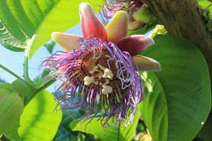 Passion fruit flower pixababy